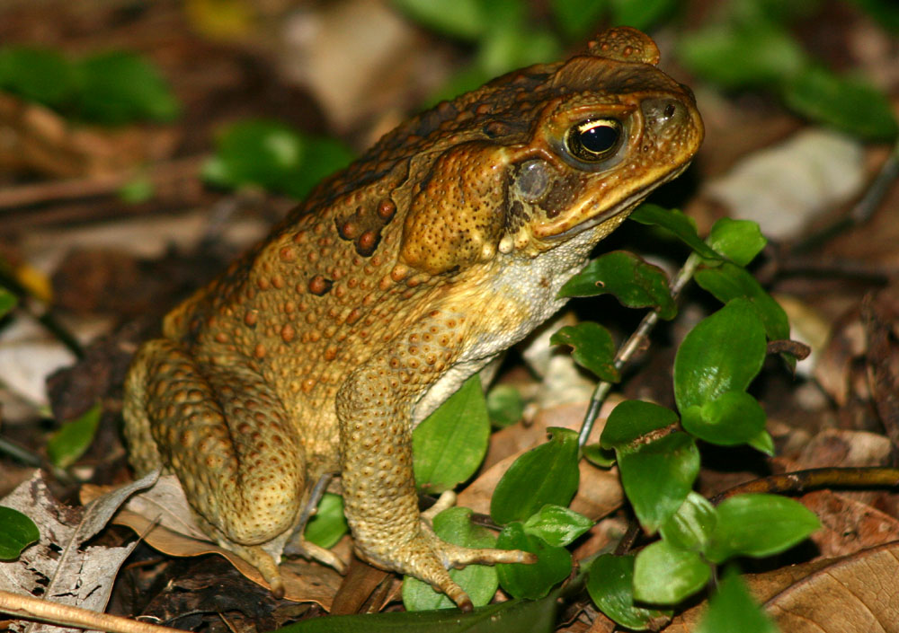 Amp Byron Cane Toad